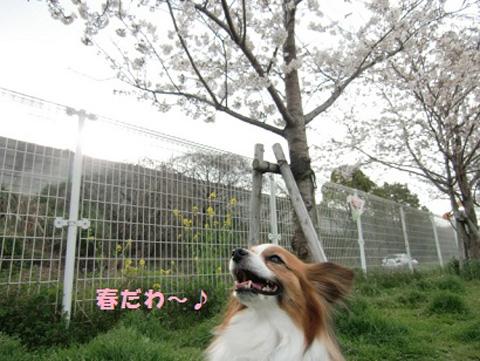 姫桜.jpg